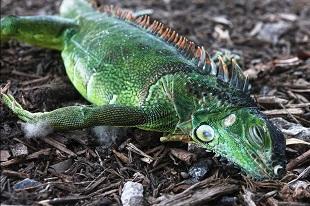 Iguanes morts de froid en Floride