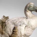 Des centaines d'animaux et végétaux disparaissent chaque jour - Dodo disparu