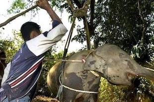 dressage d'un éléphant