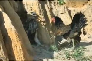 Un poulet face à un aigle...