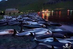 Massacre de 1400 dauphins aux Iles Féroé